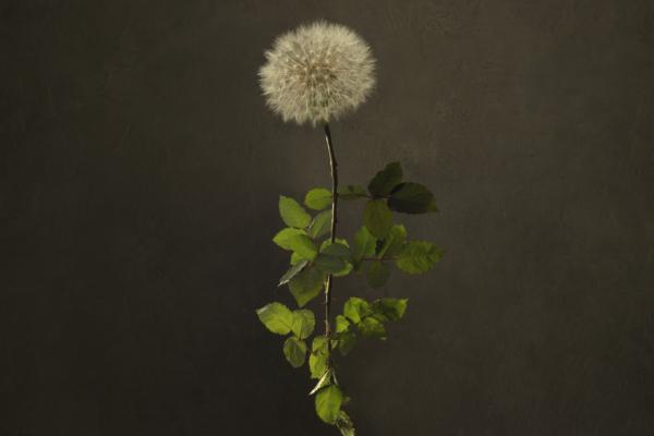 Dandelion Rose